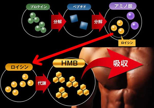 プロテインがHMBとなって体内に吸収されるまでの過程