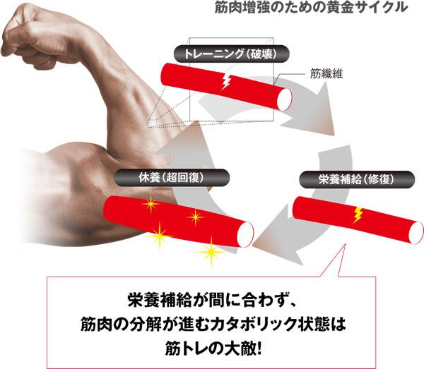筋肉増強のサイクル